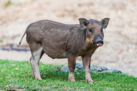 baby wild boar stand over grass
