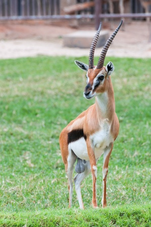 Thomson Gazelle beautiful posing for a photograph