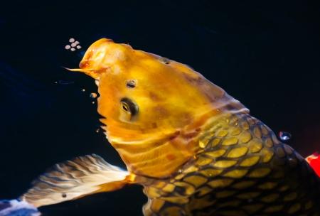 Golden koi fish eat food Stock Photo