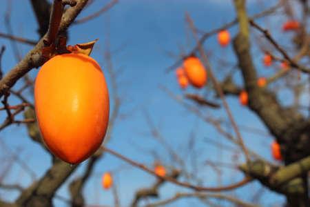 persimmon: persimmon Stock Photo