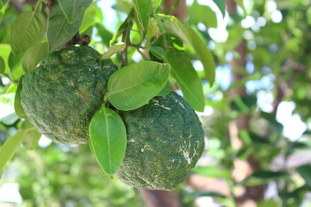ruggedness: Citrus grandis