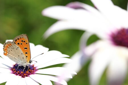 lycaena: small copper