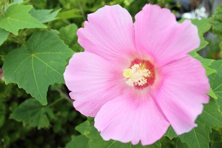 sharon: Rose of Sharon