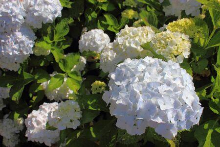 vegetative: Hydrangea
