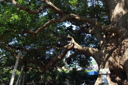 protected plant: Camphor tree
