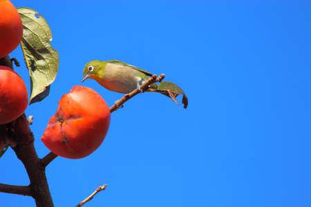 メジロ鳥 写真素材
