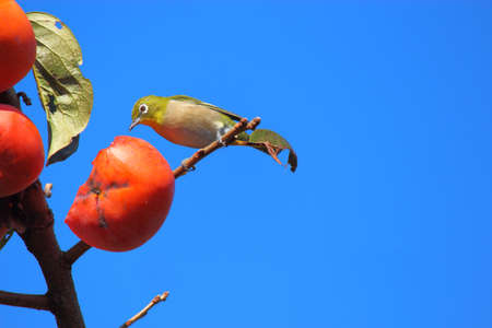 fruit eater: Japanese white-eye bird Stock Photo