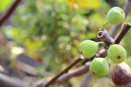 green unripe fig