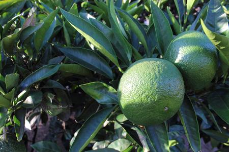 grew: The orange which grew