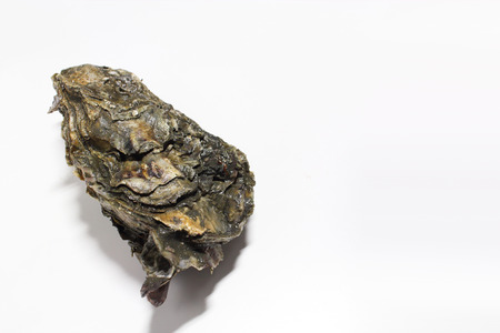 oyster shell: Oyster shell