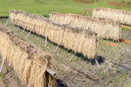 Rice fields that are dried in the sun after harvesting rice (Autumn, Japan)