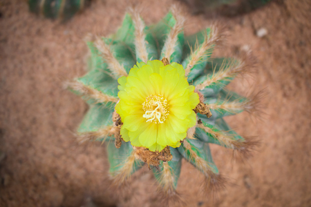 arises: Cactus flower arises on a cactus and bloom beautifully.
