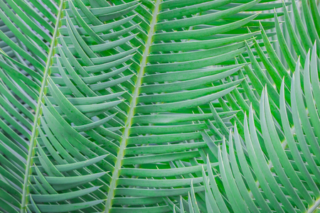 cycad: cycad leaves arranged beautifully in the forest. Stock Photo