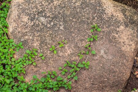 freely: Ivy plant grows freely on the rock.