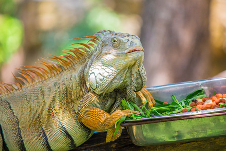 Chameleon eat food in a silver tray on the timber. Stock Photo