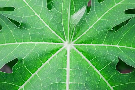 lily pad: Background the green papaya leaves. Pattern green papaya leaf. Stock Photo