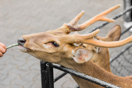 Deer in the day of the summer in Thailand.