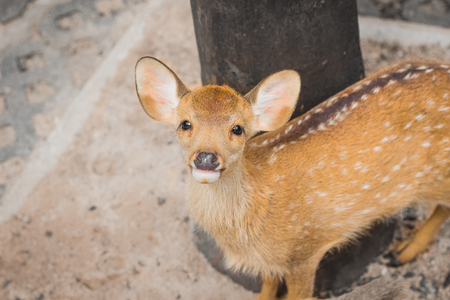 Fawn in the day of the summer in Thailand.