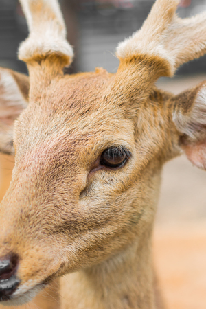 hoofed: Deer in the day of the summer in Thailand.