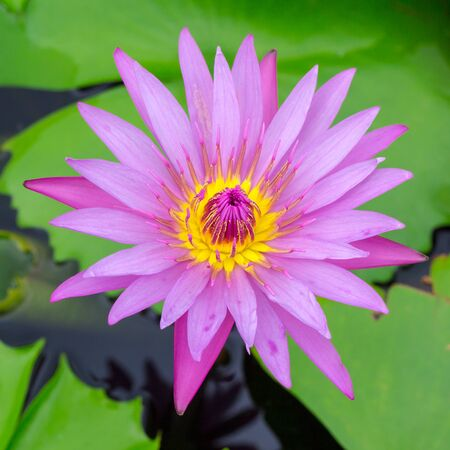 Colorful of a lotus blooming in the early seasons of nature.