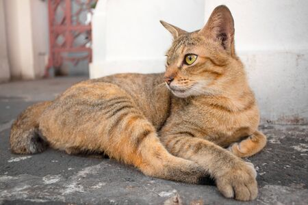 Thai cat with yellow eyes and a crescent of black eyes are looking. Cat with brown hair lying relaxing. Cat with a patterned black and brown hair.