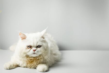 White persian cat with wool that frown on white background. Persian male cat fluffy white in the studio. White cat cute furry and scowl.