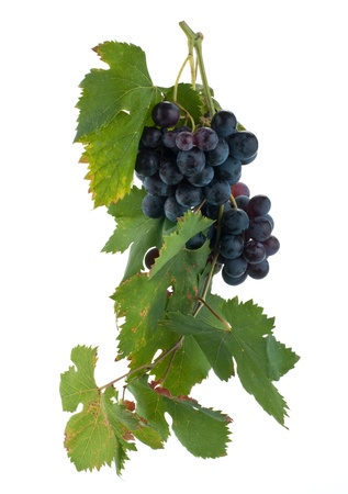 red grape cluster Stock Photo - 10424751
