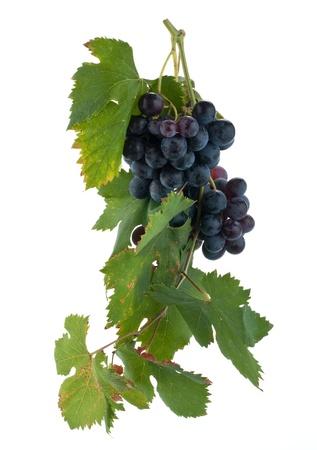 vine leaves: red grape cluster