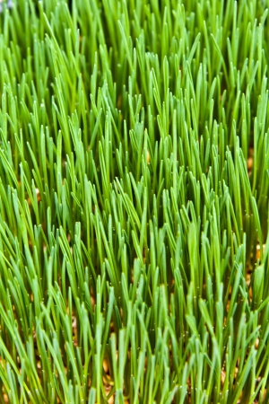 Wheatgrass for making organic juice  Union Square organic market, New York, USA