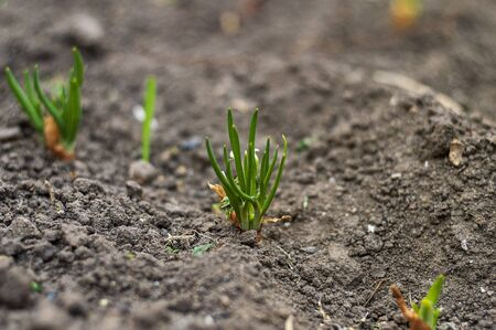 Onion sprouts sprouted in the ground. I am a sunny spring day. Harvest time is drawing near