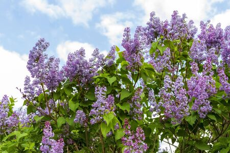 Spring branch of blossoming lilac against the sky.