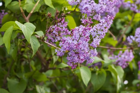 Spring branch of blossoming lilac.