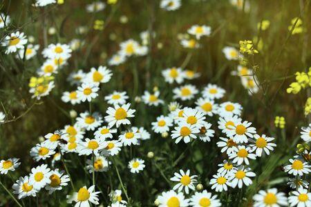Chamomile flowers field in bloom.