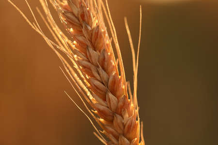 An ear of wheat in a field close up on a Sunny day.