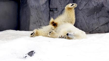 Polarbear north pole animal snow winter Asahiyama zoo, Hokkaido, Japan
