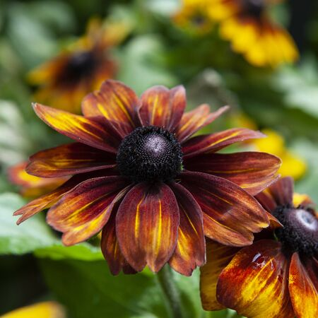 Blackeyed Susan. Also known as Black-eyed coneflower, Brown betty. This flower are good for decorating courtyards. Potted plants are great for displaying in front of doors.