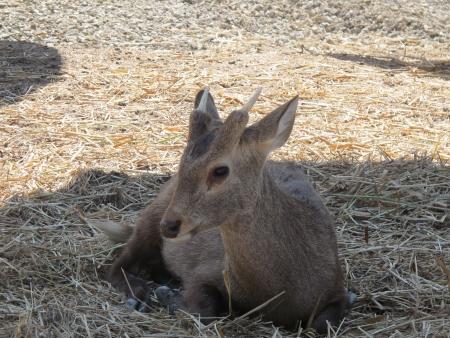 leisurely: A little deer lies leisurely