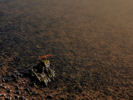 The small red dragonfly was hold on the rock within the water when the weather was hot and the sunlight condition. Stock Photo