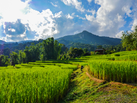 The view of step rice field in the north of Thailand. This rice field is the landmark in people in chiangmai province