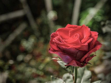 Closeup image of the red rose in the garden