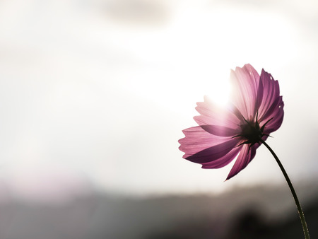 The isolated cosmos flower with the sunlight