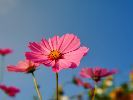 The pink cosmos flower on the blue sky background 스톡 콘텐츠