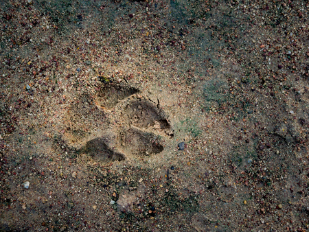 The trace marking on the wet soil from the dog footprint