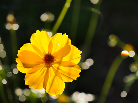 The yellow cosmos flower on the black ground