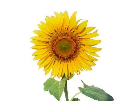 Isolated sunflower on the white background