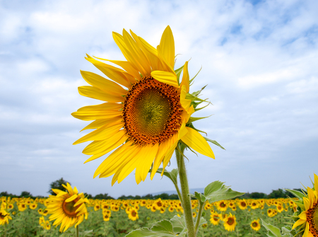Isolated sunflower on the blue sky background