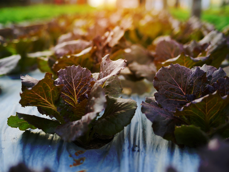 Close up fresh organic vegetable in the garden with orange light background 스톡 콘텐츠