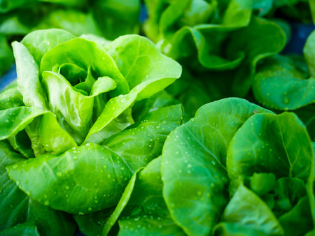 The freshness of the cabbage vegetable in the garden with water drop on the leaf 스톡 콘텐츠