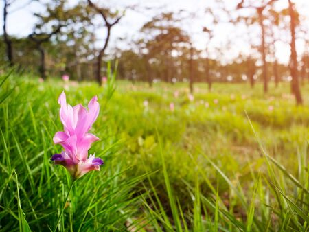 Zingiberaceae flower garden in Thailand at the morning time with forest background