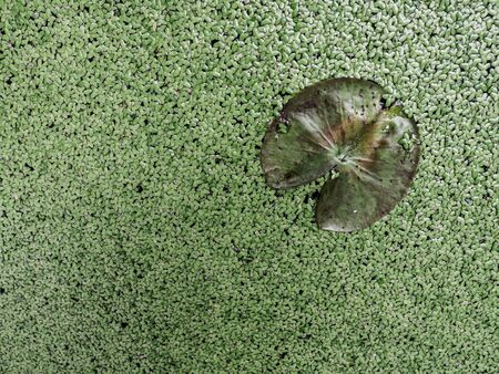 The lotus leave was on the duckgrass background
